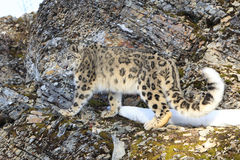 Snow leopard standing on rocky ledge. In winter Stock Photos