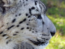 Snow leopard. Taken at the Big Cat Sanctuary in Headcorn, Kent Royalty Free Stock Image