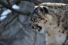 Snow leopard with teeth, Irbis Stock Image