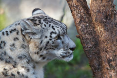 Snow Leopard tree Royalty Free Stock Photos