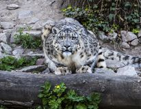 Snow leopard Uncia uncia. Fixes his prey Stock Photography