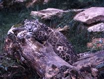 Snow leopard, Uncia ucia is behind the trunk. The Snow leopard, Uncia ucia is behind the trunk Stock Image