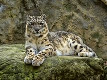 Snow leopard, Uncia ucia, like to lie on boulders. The Snow leopard, Uncia ucia, like to lie on boulders Royalty Free Stock Images