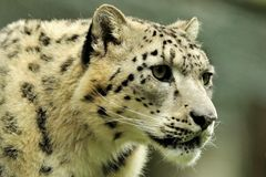 Snow Leopard (Uncia uncia) Royalty Free Stock Photography