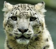 Snow Leopard (Uncia uncia) Royalty Free Stock Photos