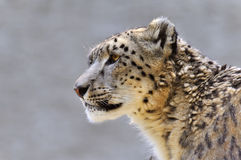 Snow leopard - (Uncia uncia). Close-up of a male snow leopard Stock Photography