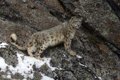 Free Snow Leopard, Uncia Uncia Stock Images - 34925004