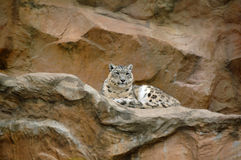 Snow leopard (Uncia uncia). The snow leopard (Uncia uncia), sometimes known as the ounce, is a large cat native to the mountain ranges of Central Asia from Royalty Free Stock Image