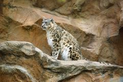 Snow leopard (Uncia uncia). The snow leopard (Uncia uncia), sometimes known as the ounce, is a large cat native to the mountain ranges of Central Asia from Stock Photo