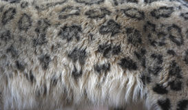 Snow leopard, Uncia uncia,. Close up of fur pattern,  Native to Central Asia Royalty Free Stock Photos