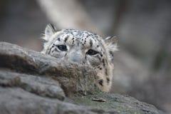 Snow leopard, Uncia uncia, Stock Photo