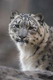 Snow leopard, Uncia uncia,. Close up of head, Native to Central Asia Royalty Free Stock Photography