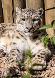 Snow leopard, uncia uncia Stock Photography