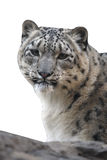 Snow leopard, Uncia uncia,. Native to Central Asia Royalty Free Stock Image
