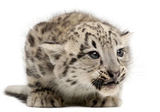 Snow leopard, Uncia uncia or Panthera uncial. 2 months old, in front of white background Royalty Free Stock Images