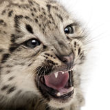 Snow leopard, Uncia uncia or Panthera uncial. 2 months old, in front of white background Royalty Free Stock Image