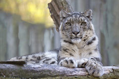 Snow leopard, Uncia uncia, portrait. Stock Photos