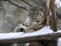 Snow leopard Uncia uncia, resting in the snow. One snow leopard Uncia uncia, resting in the snow stock photos