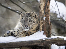 Snow leopard Uncia uncia, resting in the snow Royalty Free Stock Photo
