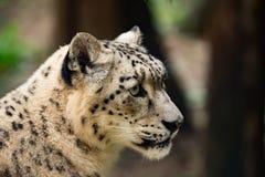 Snow leopard, Uncia uncia Royalty Free Stock Photos