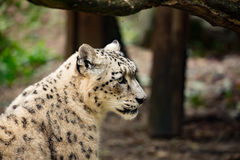 Snow leopard, Uncia uncia Royalty Free Stock Photo