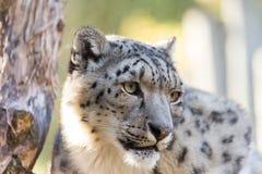 Snow leopard, Uncia uncia Stock Image