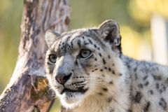 Snow leopard, Uncia uncia Stock Photography