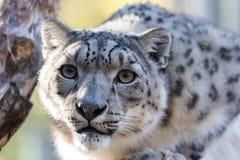 Snow leopard, Uncia uncia Stock Photos