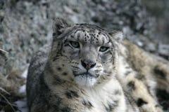 Snow leopard, Uncia uncia Stock Images