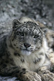 Snow leopard, Uncia uncia Royalty Free Stock Images