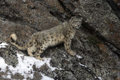 Snow leopard, Uncia uncia Stock Images