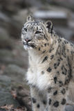 Snow leopard, Uncia uncia, Stock Photos