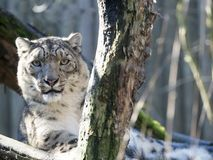 Snow leopard, Uncia uncia watches the surroundings. One Snow leopard, Uncia uncia watches the surroundings Royalty Free Stock Photo