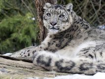 Snow leopard, Uncia uncia watches the surroundings. One Snow leopard, Uncia uncia watches the surroundings Stock Photo