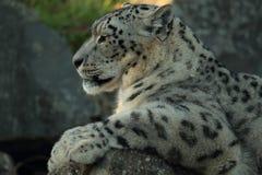 Snow leopard. Royalty Free Stock Photos