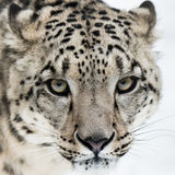 Snow Leopard VII. Frontal Portrait of Snow Leopard in Snow Stock Photos