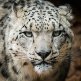 Snow Leopard VIII. Frontal portrait of Snow Leopard Stock Photography