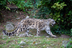 Snow leopard walking in the forest in the summer season stock images