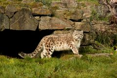 Snow Leopard walking on a lush green grass stock images