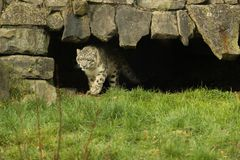 Snow Leopard walking on a lush green grass royalty free stock photo