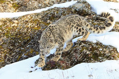 Snow leopard  walking in mountains Stock Image
