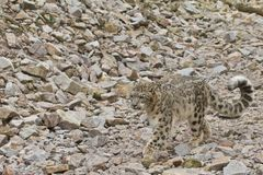 Walking Snow Leopard Stock Images