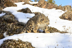 Snow leopard walking on top of mountain. With snow Royalty Free Stock Photos