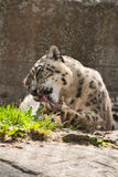 Snow leopard washes. The snow leopard washes after a dinner Stock Photos