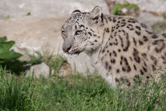 Snow Leopard. On the watch in grassy area royalty free stock photography