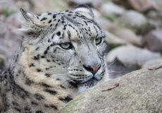 Snow Leopard on the watch Royalty Free Stock Photo