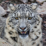 Snow Leopard on the watch Stock Photography