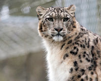 Snow Leopard Watches. A Snow Leopard keeps watch from a perch Royalty Free Stock Images