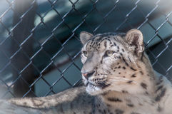 Snow Leopard. Watching goats in the cage across the road Royalty Free Stock Photo