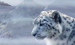 Snow Leopard, Wildlife, Mammal, Cat Like Mammal stock photos